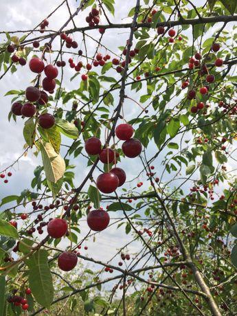 Ekologiczne wiśnie prosto z sadu