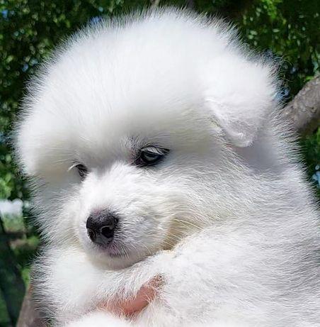 Купить щенка Самоеда