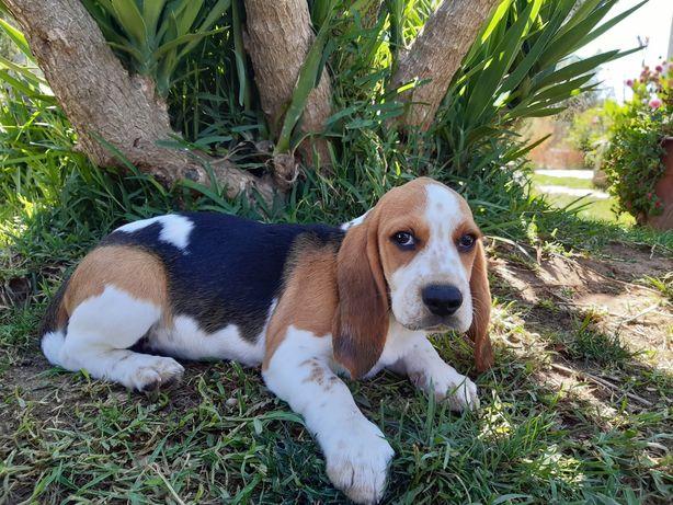 Excelente Macho Beagle com LOP e AFIXO