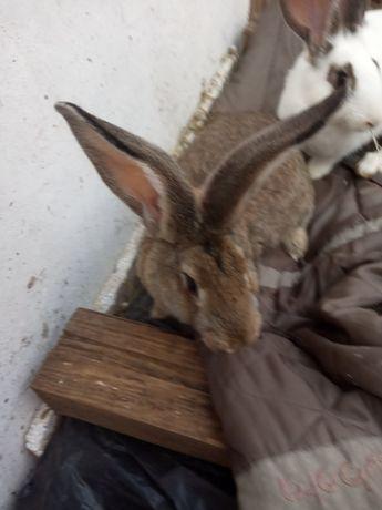 Продам кролики Здолбунів