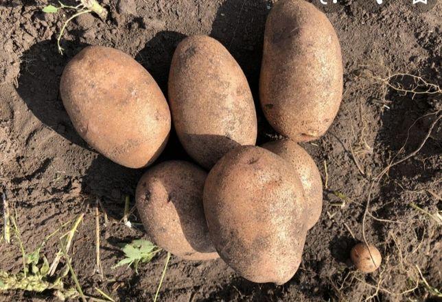 Картопля домашня