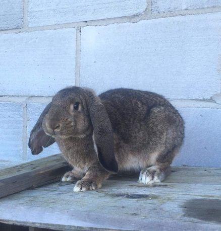 Sprzedam króliki samice barany
