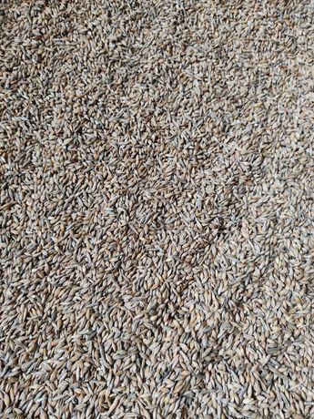 Пшениця та ячмінь