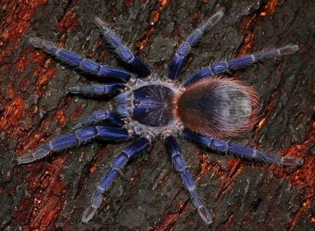 Синие красивые пауки птитцееды для новичков Pterinopelma sazimai