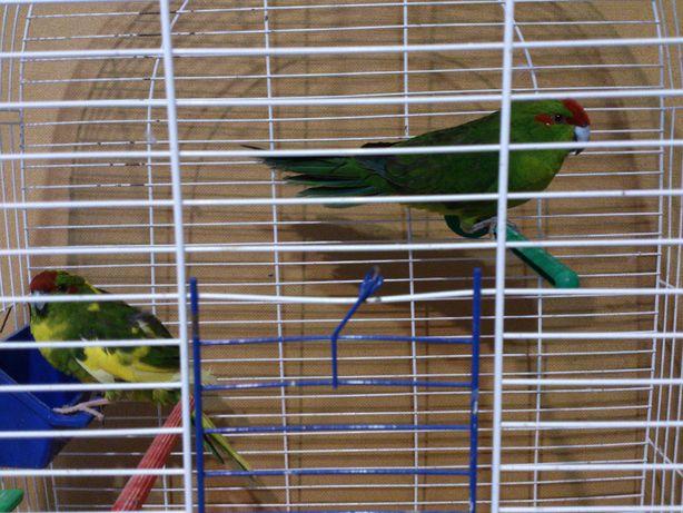 новозеландский попугайчик