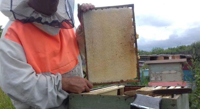 Спокойная порода. Пчеломатки Бакфаст (БФ) от племенной матки