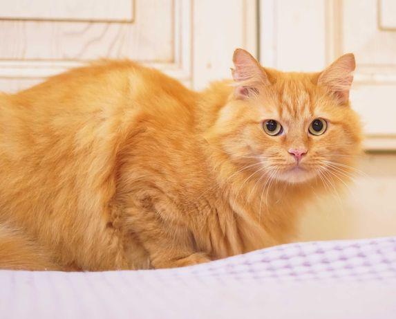 шикарний рудий пухнастий кіт 1р