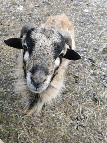 Owce kamerunskie Barbados