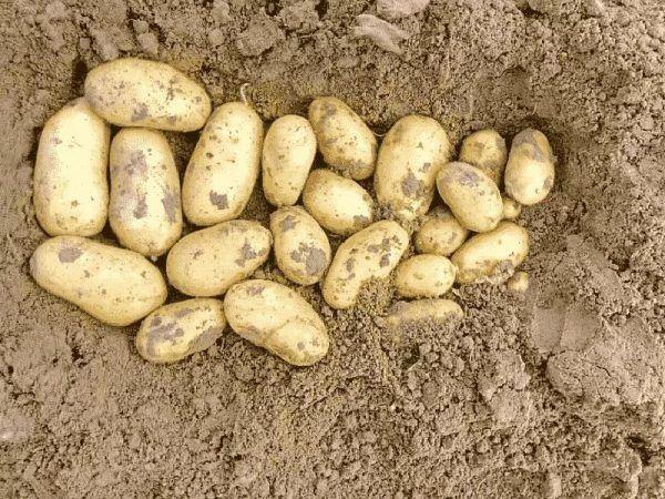 Насіннєва картопля. Королева Анна.