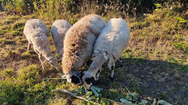 Ovelhas para criar