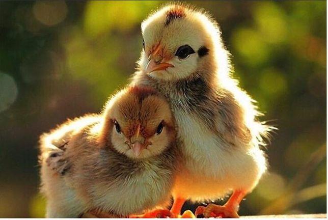 Курчата разных пород