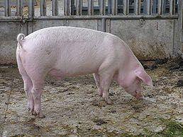 Свині, живою ціною