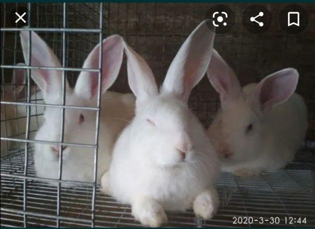 Кролі породи Термонці