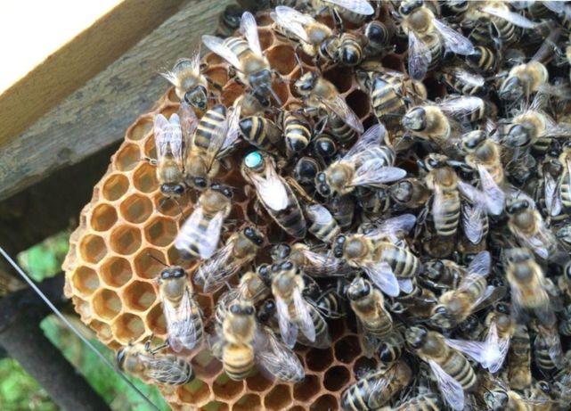 Бджоломатка Скленар-Пешец (Карника) Їй довіряють. Бджолині матки