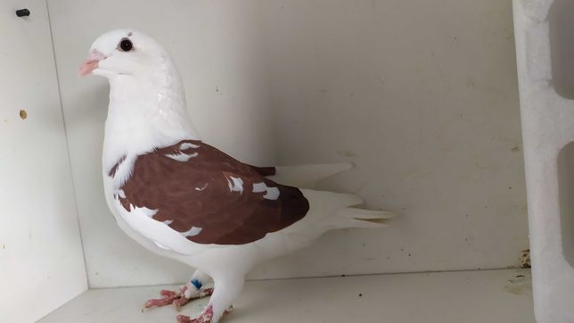 gołębie standard-standart