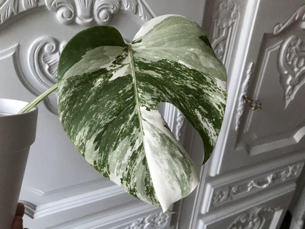 Monstera variegata ukorzeniona, kwiat doniczkowy, roślina