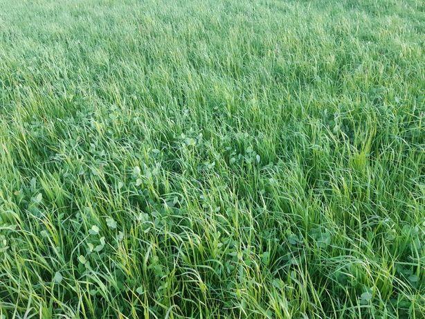 Bele sianokiszonki koniczyna lucerna trawa