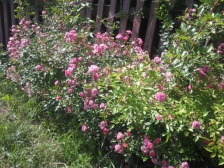 Роза чайная. Куст чайной розы. Корень свой, домашний. См фото