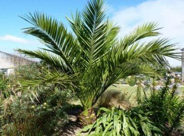 Palma Phoenix canariensis Daktylowiec kanaryjski