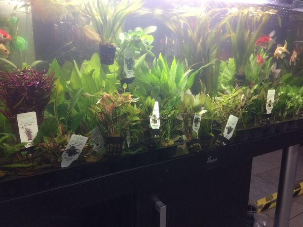 Rośliny akwariowe