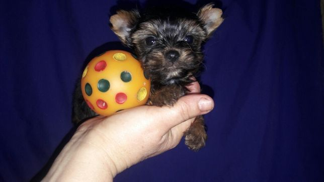 Супер йоруи- фото щенков и фото папа