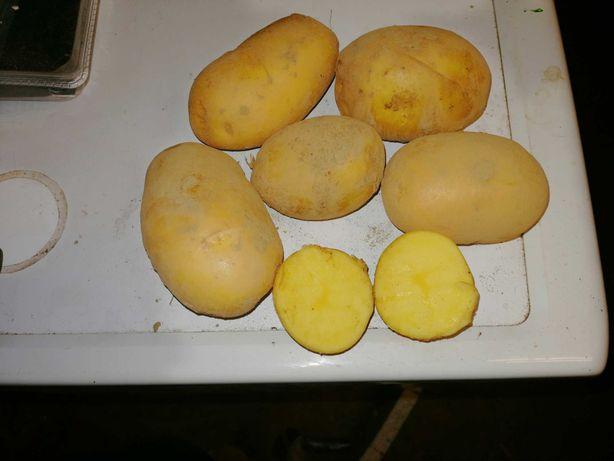 Ziemniaki jadalne i sadzeniaki lord