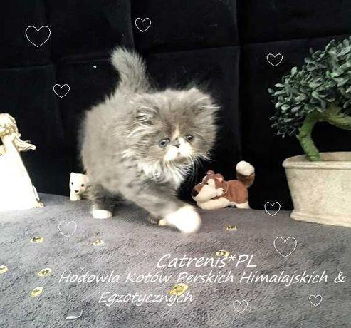 Perski Słodziaczek Cecyliusz Catrenis*PL FPL (FIFe)