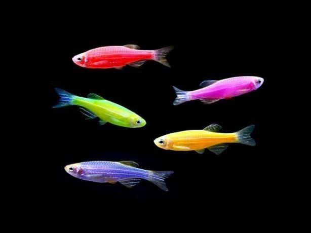 Данио GloFish,  светящиеся аквариумные рыбки