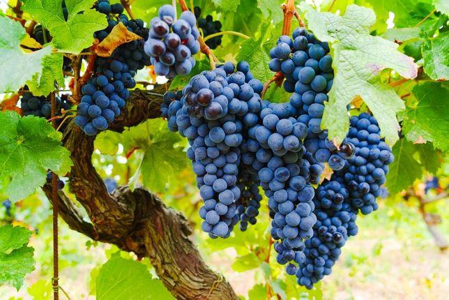 Виноград ізабелла (на корні)