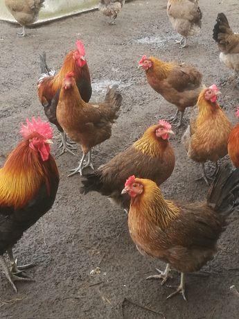 Jaja lęgowe kury zielononóżki