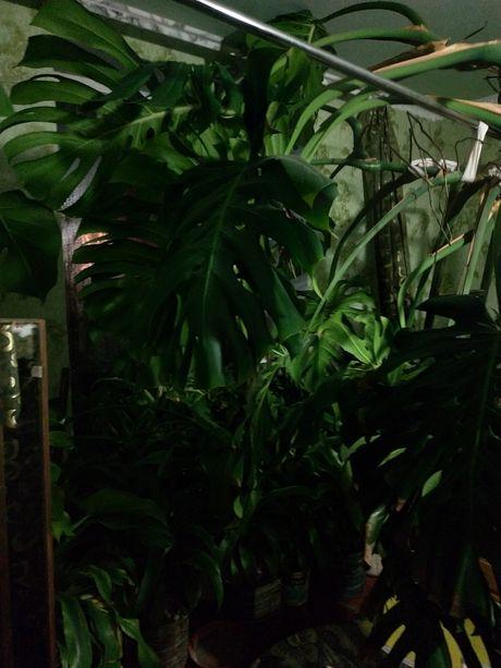 Продаю вазони Монстери Драцени та інші декоративні рослини