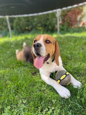 Beagle reproduktor