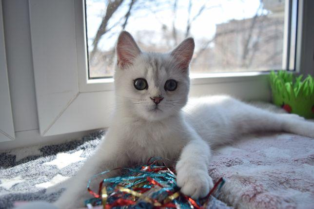 Милый британский котенок серебристая шиншилла