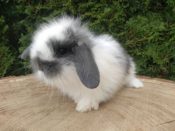 Baranek miniaturowy  króliczek