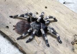 nhandu chromatus паук птицеед павук тарантул самец и самка недорого
