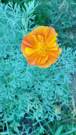 Эшшольция, семена