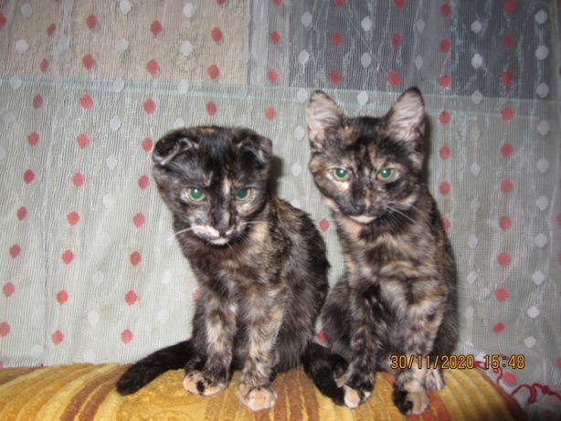 Продам котят шотландської породи
