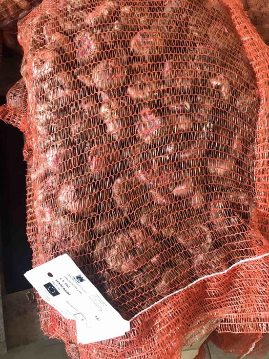 Луковица гладиолуса Вишневе - зображення 1