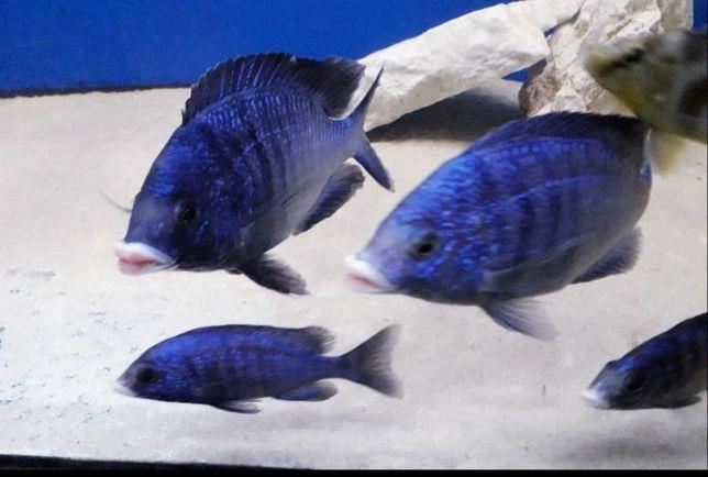 Placidochromis mdoka White lips.  Dorosłe  5/5.
