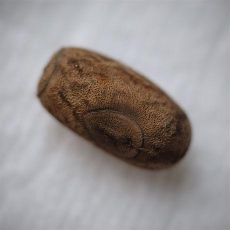 Straszyk nowogwinejski jaja