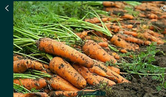 Морква домашня
