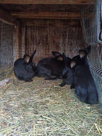 Продам кролі хорошої породи