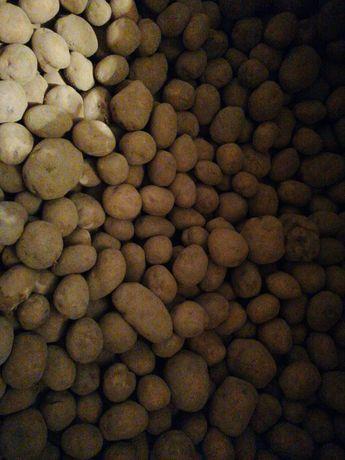 Ziemniaki Vineta i Stasie