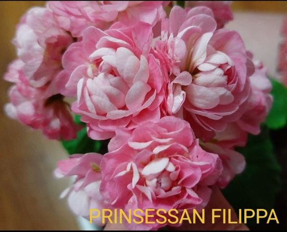 пеларгония Princess Philippa