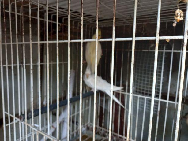 Várias aves: casal de caturras e piriquitos