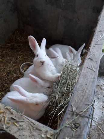 Młode króliki Termondzkie wyjątkowo mięsna rasa Królik Termondzki