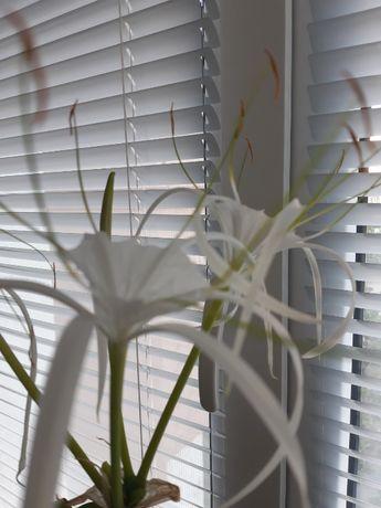 Продам комнатную лилию (гименокаллис)