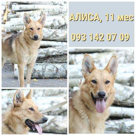 Собака - солнышко Алиса, рыжая и улыбчивая, до 1 г, стерилизована