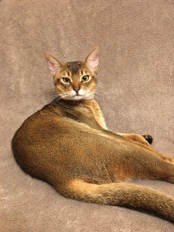 Вязка аббисинского кота