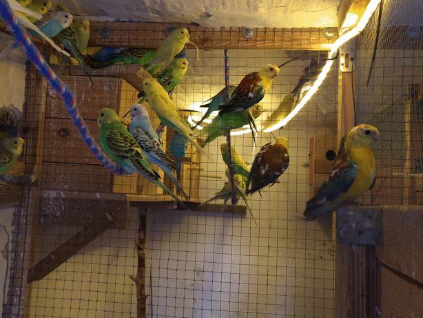Młode papugi faliste